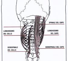Muscoli posteriori del collo