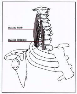 Muscoli laterali del collo