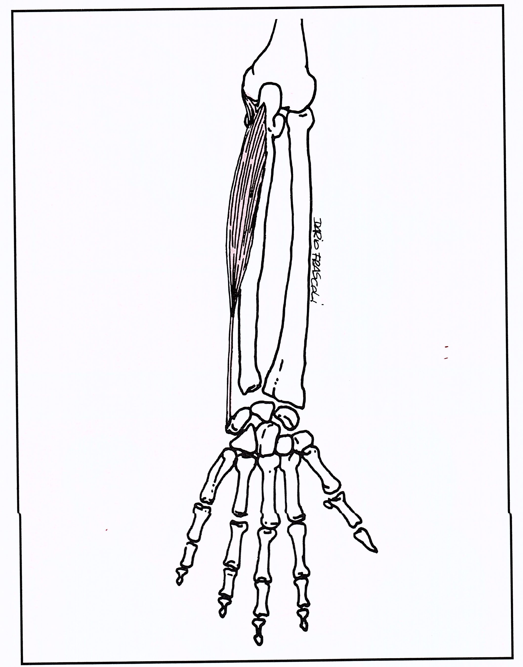 Flessori braccio