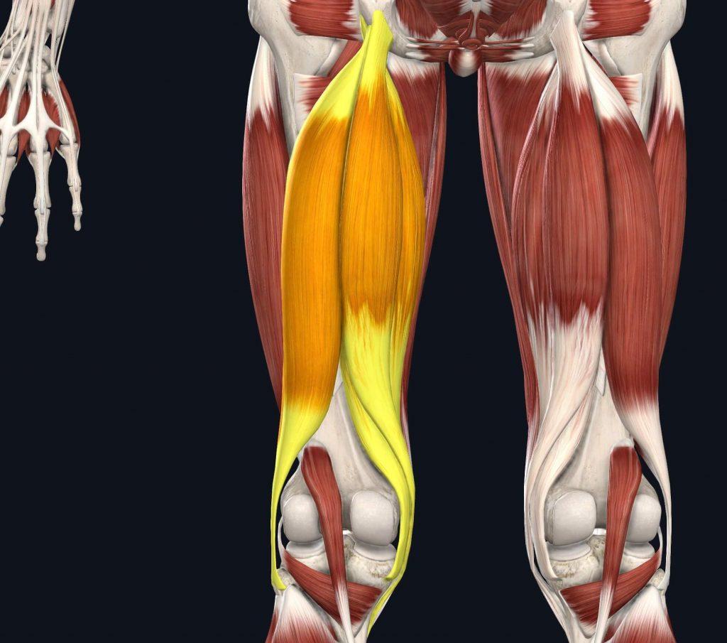 immagine del bicipite femorale