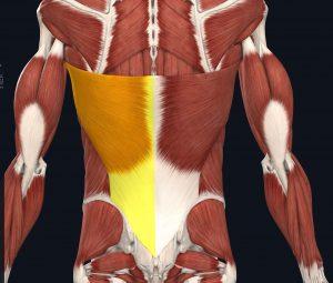immagine dei muscoli dorsali