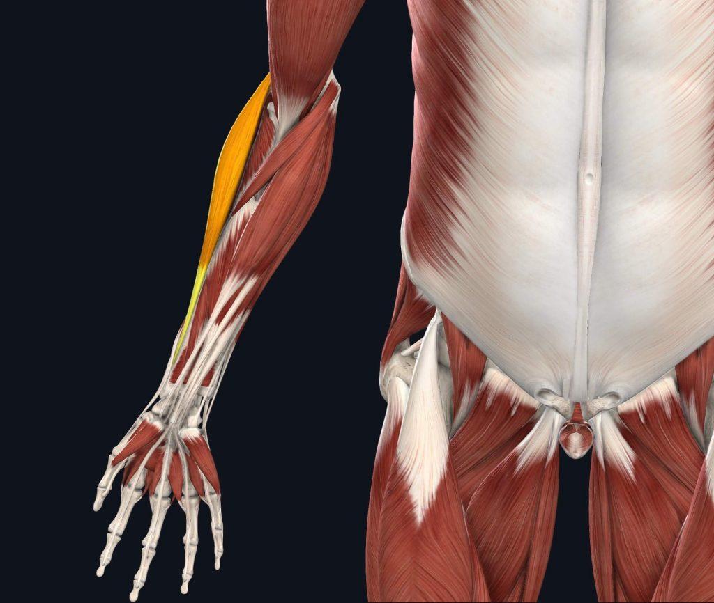 immagine estensori braccio