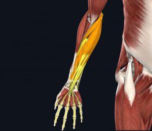 immagine flessori braccio