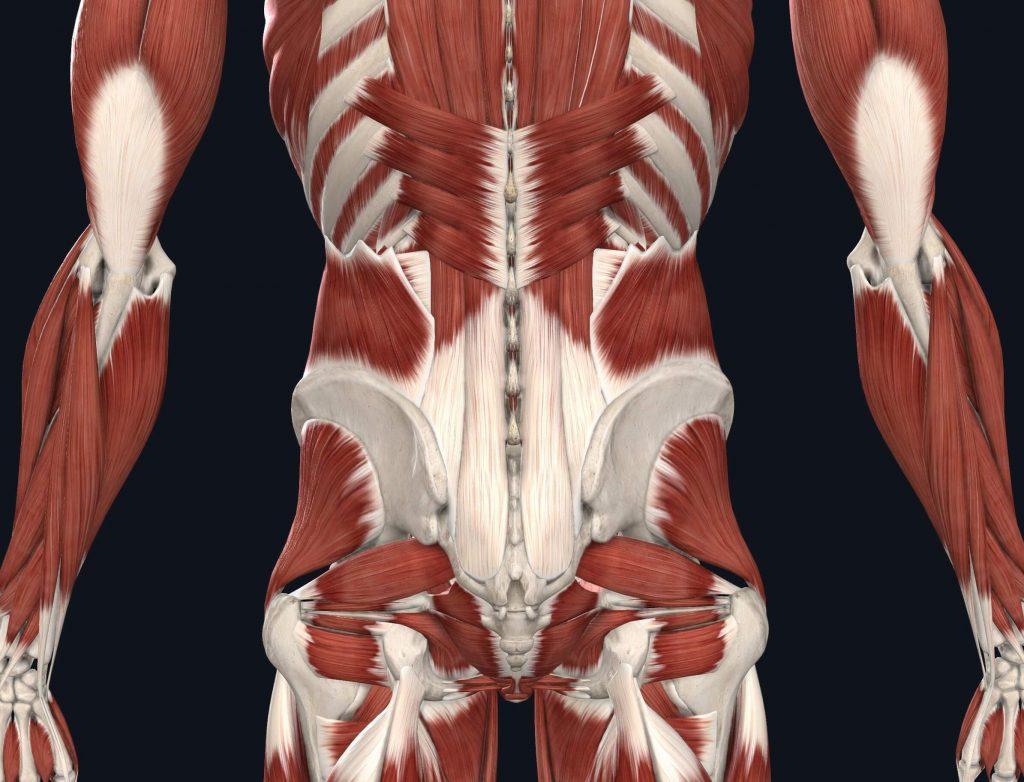 immagine muscoli lombari