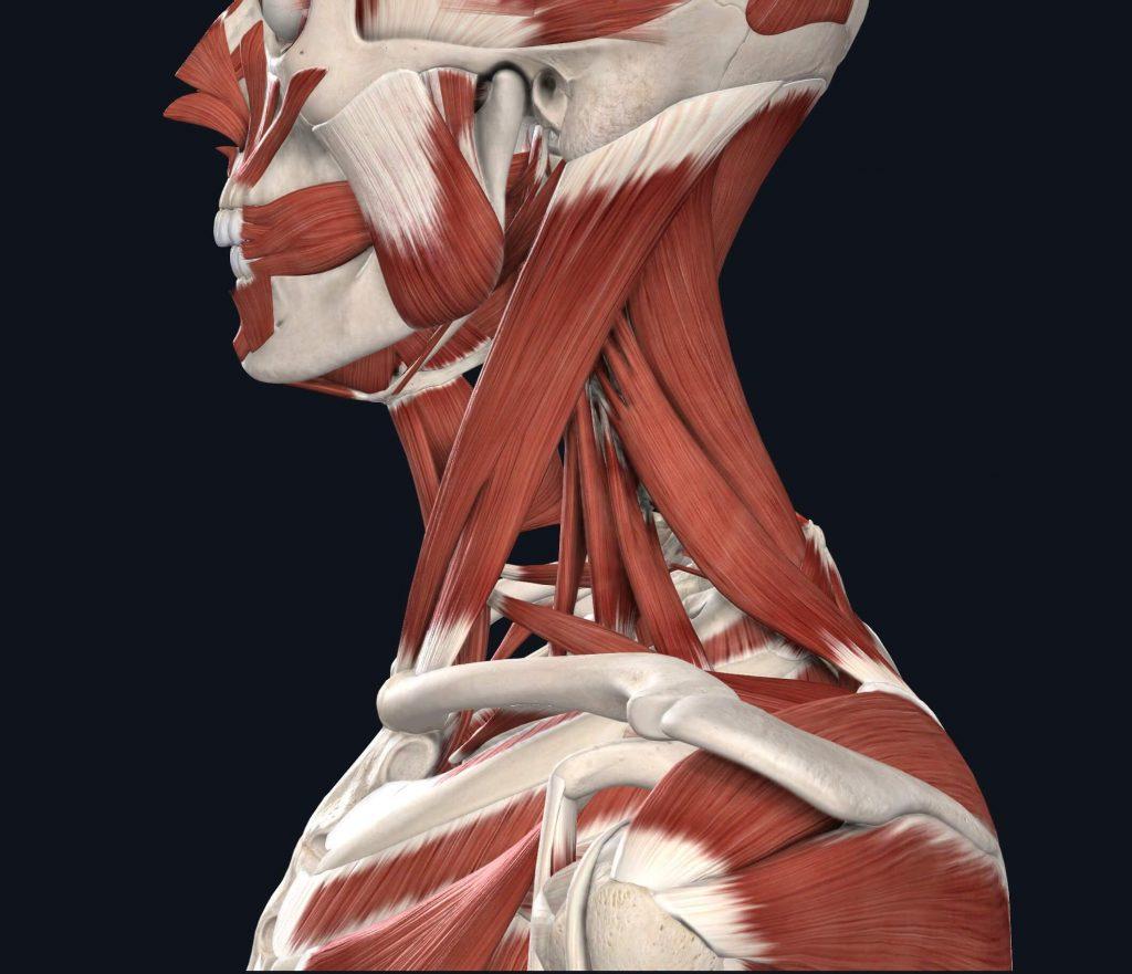 immagine muscoli laterali del collo