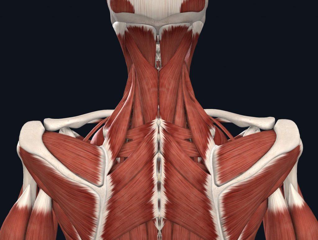 immagine muscoli posteriori del collo