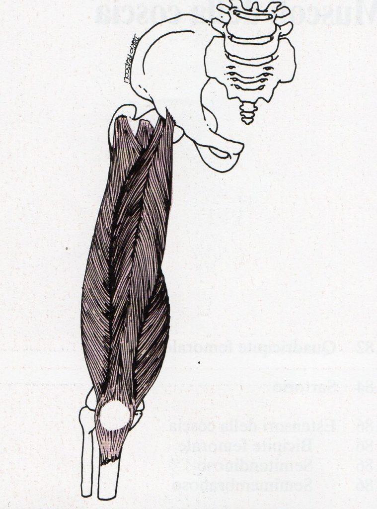 quadricipite-femorale